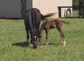 Group 2 winner Raspberry Ripple with her first foal, a handsome colt by Fusiachi Pegasus